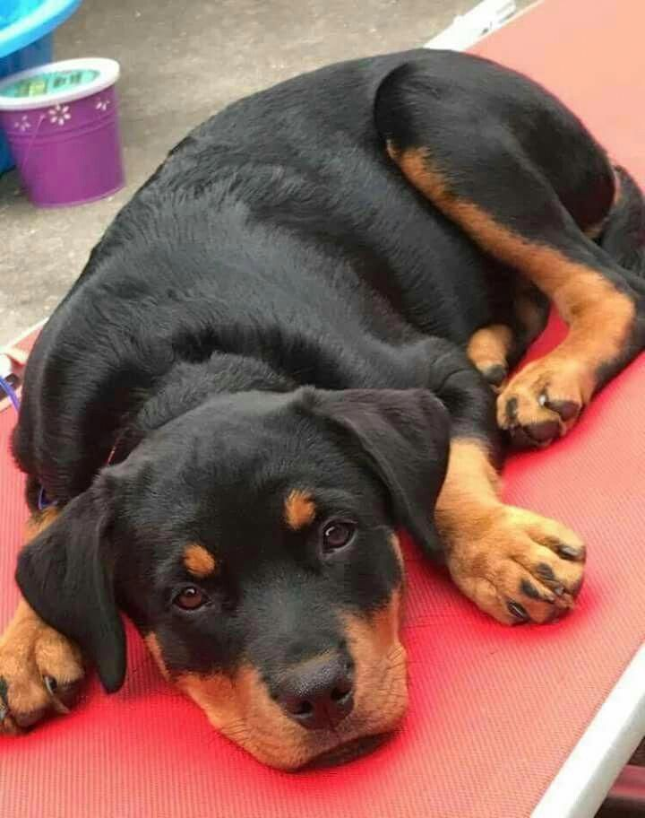 Everything About The Calm Rottweiler Puppy Size Rottweilerlovers