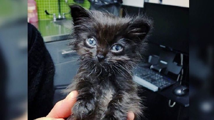 Dwarf Kitten Found On Concrete Slab Gets Help to Grow in These Adorable Photos..