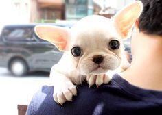 Teacup French Bulldog Adults