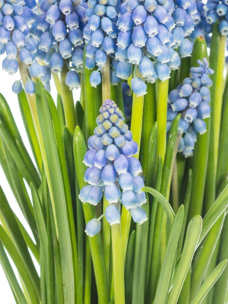Blumen im märz  8 besten Frühlingsblumen Bilder auf Pinterest | Dekoration, Januar ...
