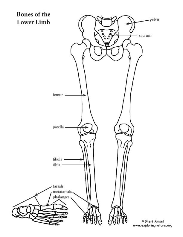 Learn About The Skeletal System On Exploringnatureorg