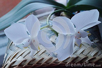 Background with beautiful white orchids