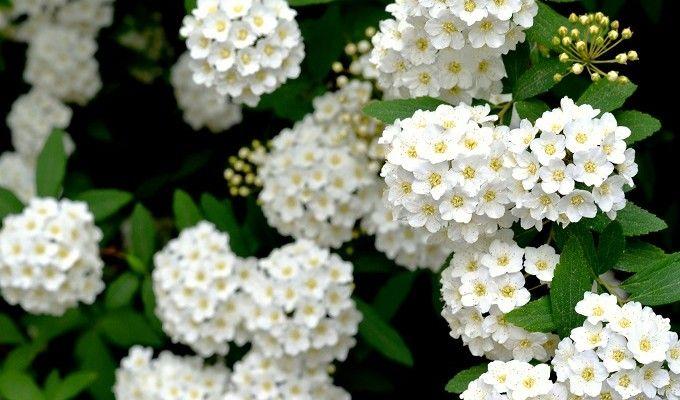 White Spring Flowers...Reeves' Spirea - Redeem Your Ground | RYGblog.com