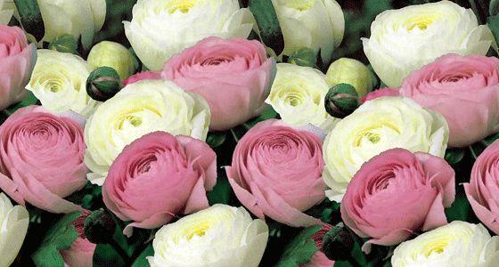 pobedpix.com / ранункулюсы розовые