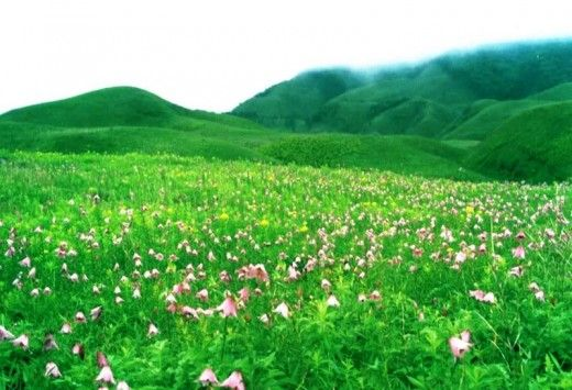 Picture of Siroy Lily ( Manipur, India)
