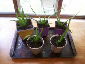 Great advice for caring for aloe plants including transplanting! Lots of great