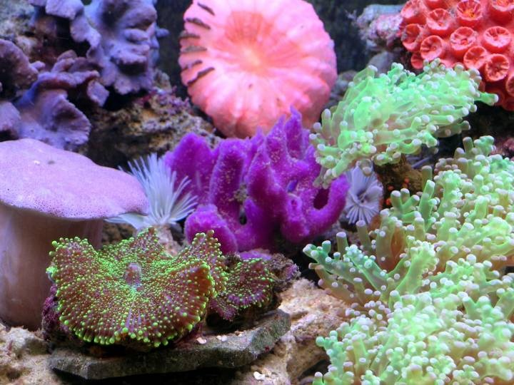 65 best coral images on pinterest live coral aquariums for Live saltwater fish