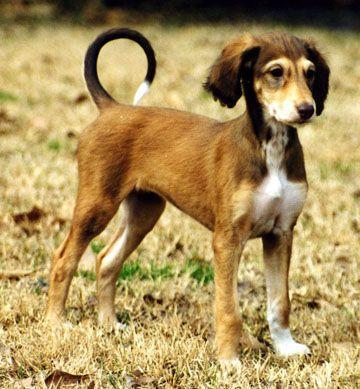 saluki | Saluki Puppies Pictures