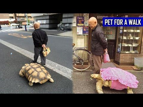 Best Minidinosaurs Images On Pinterest Tortoises Reptiles And - Man walks pet tortoise through tokyo