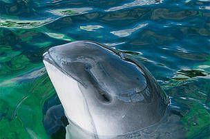 Morświny żyją zwykle samotnie lub w niewielkich grupach, liczących 2-3 osobniki.