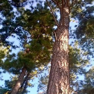 #arboles #pinos #portuguesa #photo #like #photography #venezuela #foto #photo