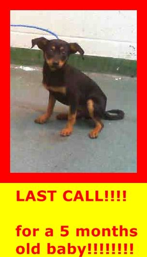 BRUNO (A1673753) I am a neutered male black and tan Terrier mix. The shelter staff think I am about 5 months old and I weigh 8 pounds. I was found as a stray and I am available for adoption. I have been at the shelter since 1/16/15 — hier: Miami Dade County Animal Services. https://www.facebook.com/urgentdogsofmiami/photos/pb.191859757515102.-2207520000.1422192644./916217555079315/?type=3&theater