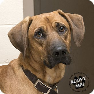 URGENT! I am at a very full, high kill shelter in Troy, OH - Hound (Unknown Type)/Labrador Retriever Mix. Meet Crimson, a dog for adoption. http://www.adoptapet.com/pet/17078735-troy-ohio-hound-unknown-type-mix