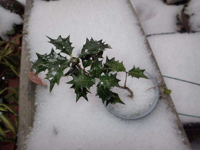 雪の朝 ヒイラギ