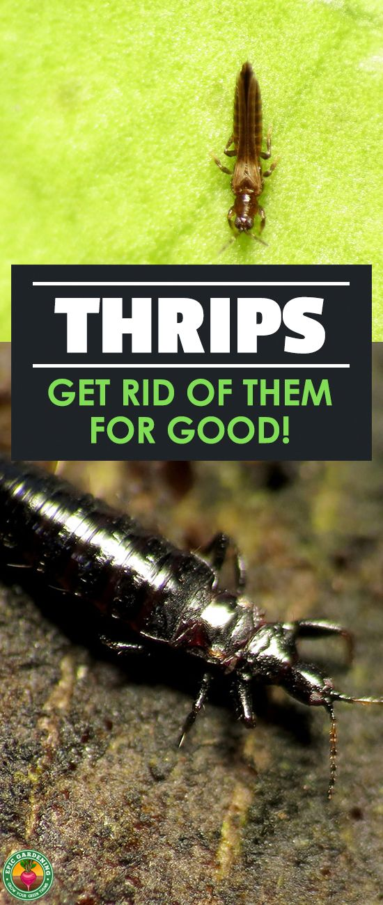 Thrips How To Identify And Get Rid Of Thrips Asap Epic Gardening Garden Pest Control Organic Pesticide Pests