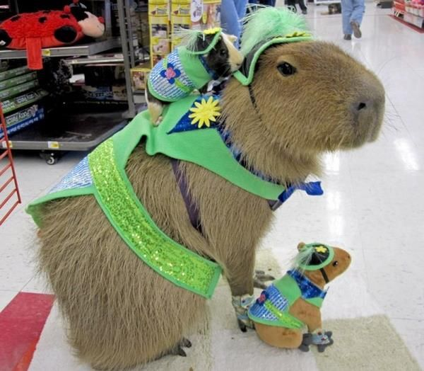 This is a guinea pig riding a capybara. Walpets!