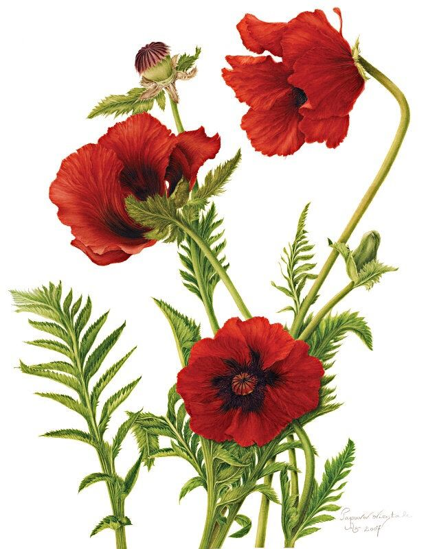 Papaver orientale (Poppy) - Botanical illustration by Milly Acharya