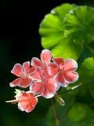 Moustiques: essayez le géranium Pour repousser rapidement les moustiques, essayez l'huile essentielle de géranium rosat. Extraite des…