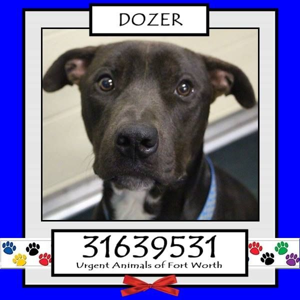 rn**Fort Worth, TX - Current Status: CODE RED - possible euthanasia on 6/19rnrnReason for URGENT: Upper Respiratory InfectionrnrnAnimal ID: 31639531rn Name: Dozerrn Breed: Pit Bull mixrn Sex: Malern Age: 2 yearsrn Weight: 62 lbsrn NeuteredrnrnIntake: 5/18rn Found: 5700 blk Remington 76119rnrnPersonalityrn 6/14: Dozer is a friendly dog. He sits very nicely for treats and is also dog friendly.- Nicolrn
