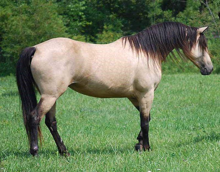 TAN WAR BIRD - Buckskin Morgan Horse Mare