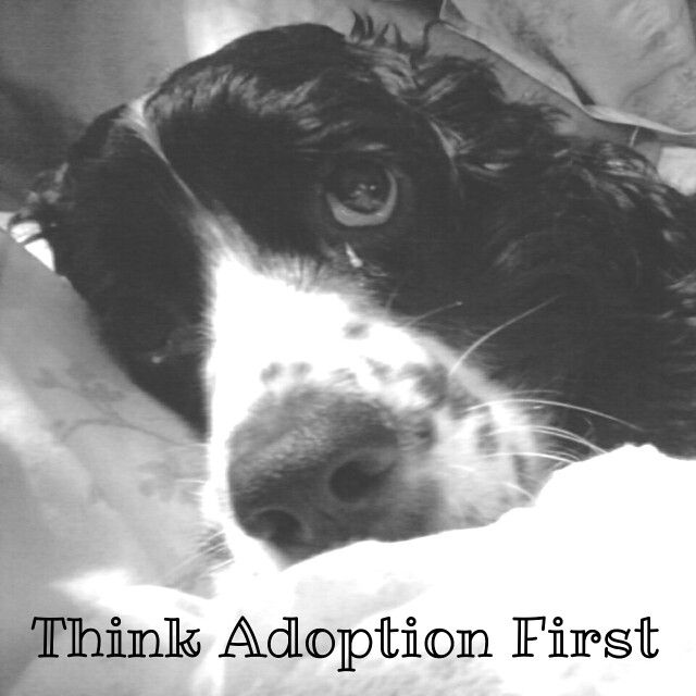 Our current foster dog through ESRA. English Springer Rescue America.  We are always looking for foster families and new adopting families.  This is little Ray, rescued from a shelter.  The more foster homes we have the more rescues we can take in.  Give it some thought.  #foster
