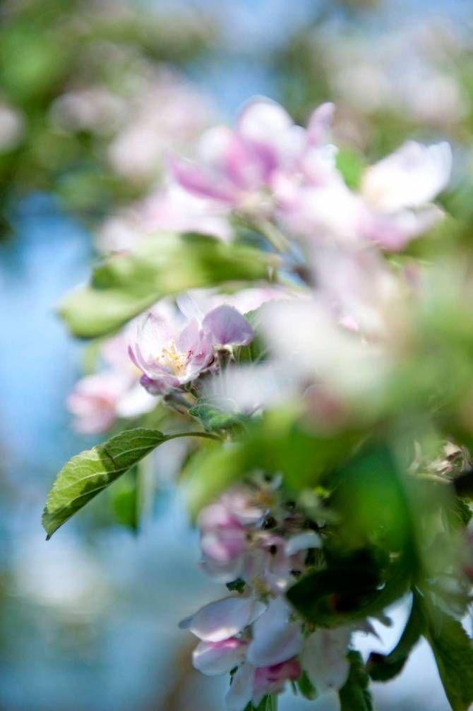 Äppelträdsblom av sorten 'Belle de Boskoop'