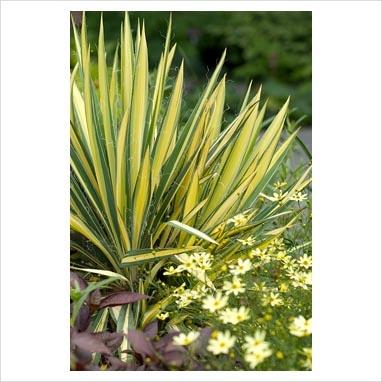 Yucca flaccida 'Golden Sword', Coreopsis 'Moonbeam'