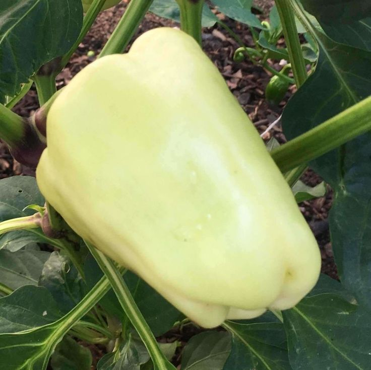 Seeds for Pepper (sweet) 'White Bell' - (Capsicum annuum) – Amkha Seed