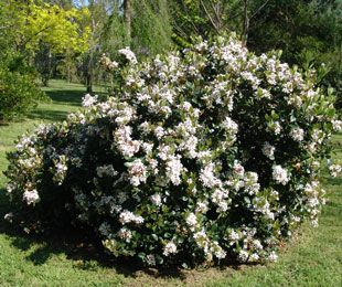 COSMIC WHITE™ Raphiolepis is a super tough shrub with masses of large white flowers | Hardy Exotic Range:   http://www.ozbreed.com.au/hardy-exotic-range/cosmic-white.html