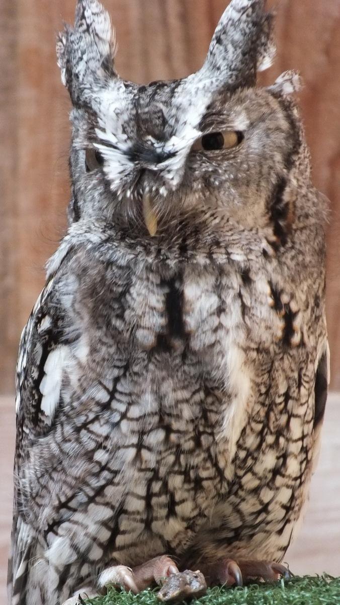 Eastern Screech owl - stands tall - Mountsberg Raptor Centre