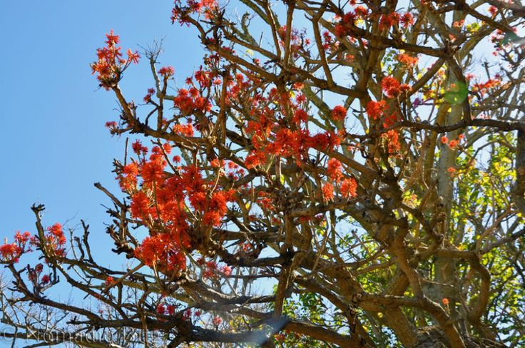 Flame tree, Kirstenbosch Gardens, Cape Town, South Africa        Fun Things To Do In Cape Town This Summer Nomadic Existence