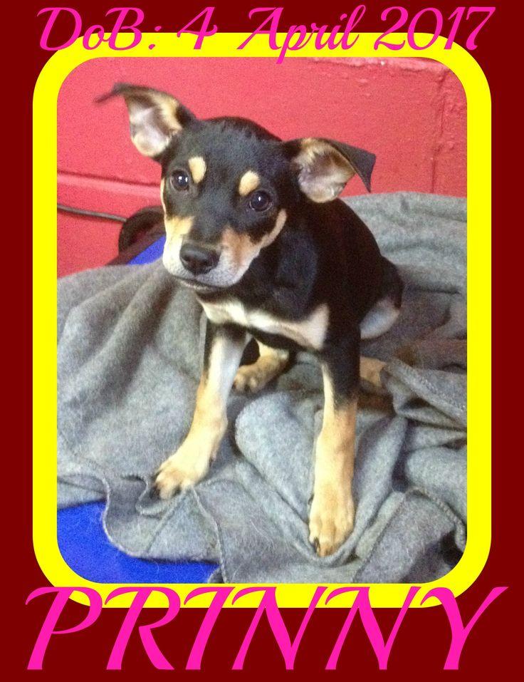 Miniature Pinscher dog for Adoption in Sebec, ME. ADN-642251 on PuppyFinder.com Gender: Female. Age: Baby