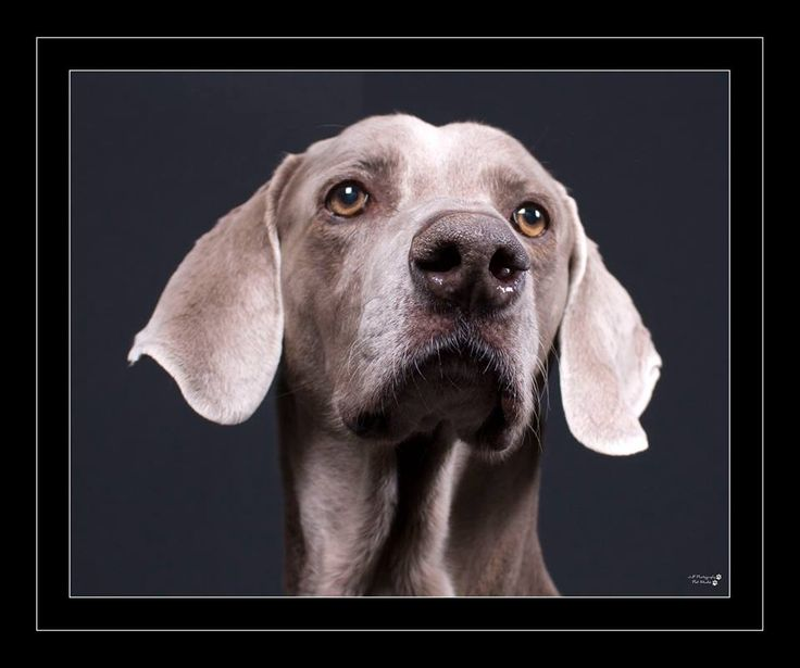 Had a fun studio session with Nelson the Weimaraner the winning dog of the free pet session for June JJF Photography www.jjfphotography.com.au