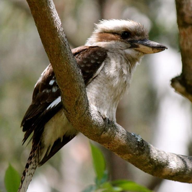 Kookaburra an Australian icon