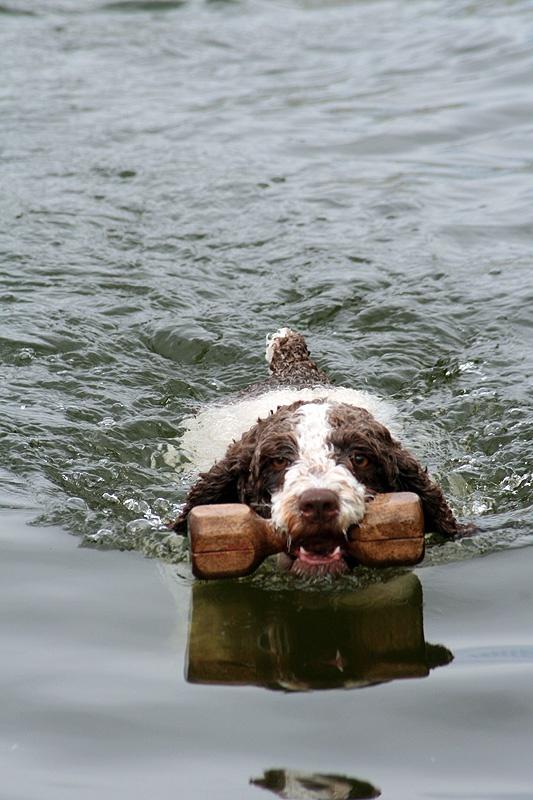 Perro de agua Espanol