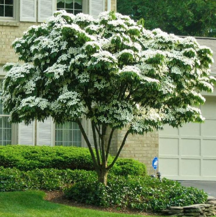The Living Urn® System with Kousa Dogwood Tree