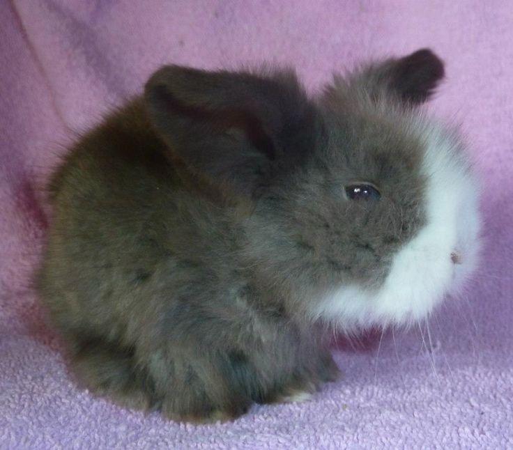 Satin Angora rabbits, Nebraska | réserver bébé bélier angora ( Teddy )