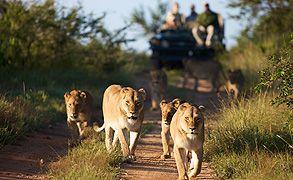 Kapama guests following lions