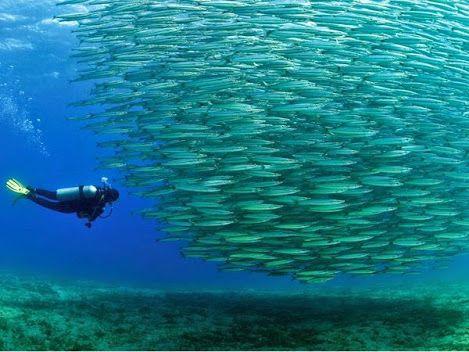 Mar Vermelho  Um mergulhador no Mar Vermelho se aproxima de um cardume de barracuda juvenis. Frágil ecossistema subaquático do mar que inclui milhares de espécies de peixes, recifes de corais e manguezais, e ajudaram a formar a costa, incluindo a cidade e resort, popular destino turístico de Sharm el Sheikh-Egito Sinai.  Foto de Sami Sarkis
