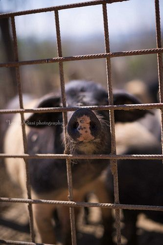 pig snout through the pigpen - by Laura Adani photography (www.lauraadani.com)-7371-2   Flickr – Condivisione di foto!