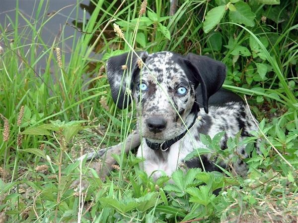 Catahoula: Crazy Dogs, Dogs Breeds, Catahoula Leopards, Catahoula Dogs, Ghosts Eye, Catahoula Puppies, Blue Eye, Leopards Dogs, Crazy Eye