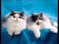 персидские кошки виды - Поиск в Google