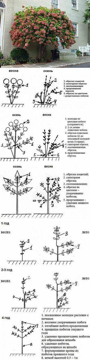 Формирование и обрезка гортензии | Сад и огород | Постила