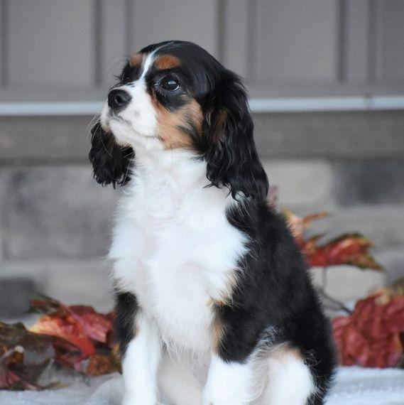 Rocky Cavalier King Charles Spaniel Puppy 567813 Puppyspot King Charles Cavalier Spaniel Puppy King Charles Spaniel Cavalier King Charles Spaniel