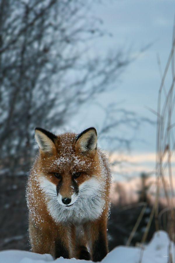 """The Friendly Fox.""   (Photo By: Yngve Blomsø.)"