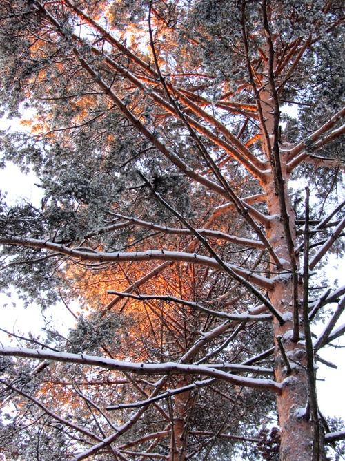 Metsä, mänty, Photographer Taina Tervonen