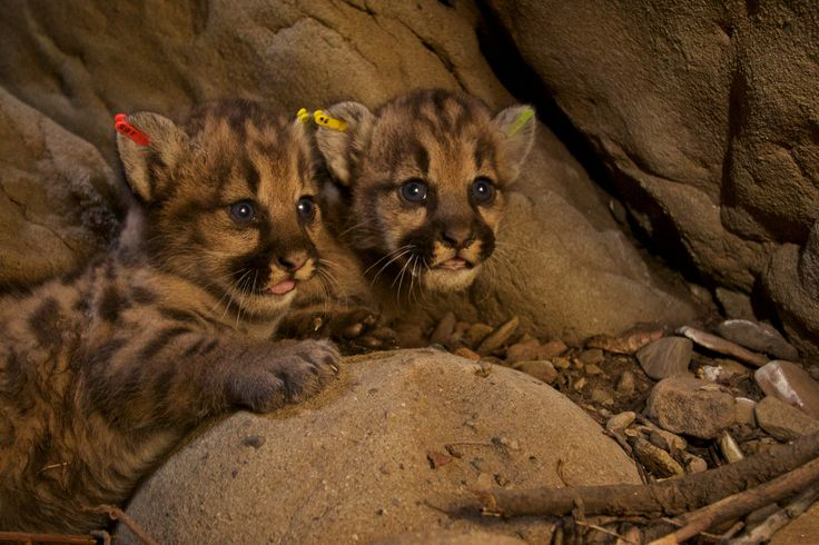 Five mountain lion kittens were just born near L.A., and they're adorable