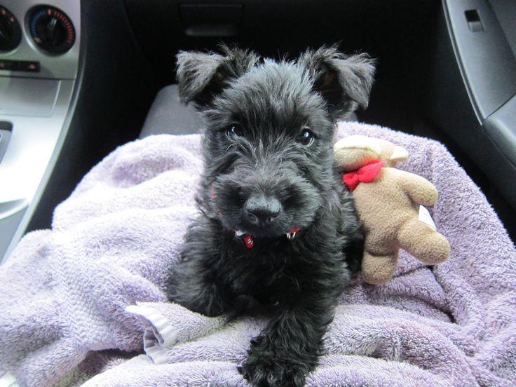 Shortbread the Scottish Terrier!