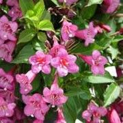 Weigela 'Rumba' (Weigela 'Rumba') Click image to learn more, add to your lists and get care advice reminders  each month.