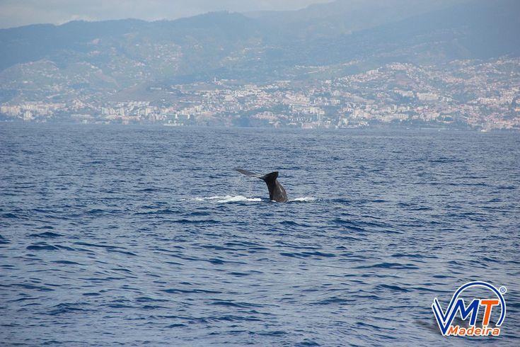 Cachalote , Spermwhale, Madeira Island, VMT Madeira Catamaran Trips